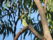 A female Golden Shouldered Parrot.  Photo Mick and Kerry Moylan.<br/>