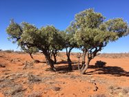 A Bullock Bush showing obvious browse lines caused by feral goats.<br/>