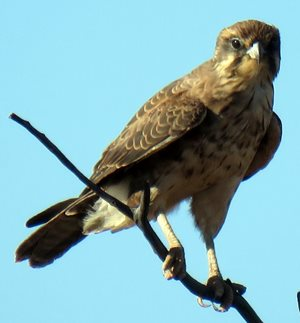 Brown Falcon.<br/>