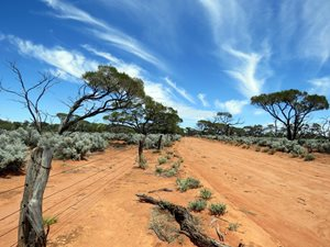 Western Myall trees and Blue Bush.<br/>