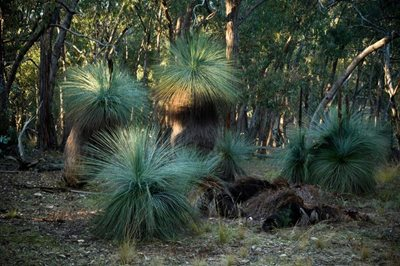 Grass trees at JC Griffin Reserve in Victoria. Photo Matthew Newton.