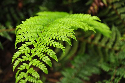 Tree fern at Liffey Valley. Photo Annette Ruzicka.