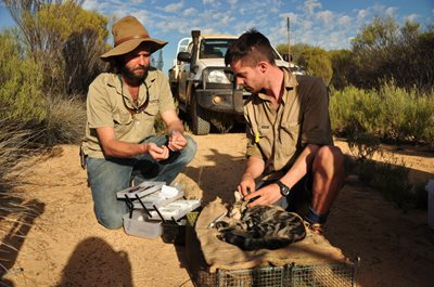 Luke Bayley (left) and PhD student Tim Doherty fit a radio collar to a feral cat as part of a broader control program. Photo Annette Ruzicka.