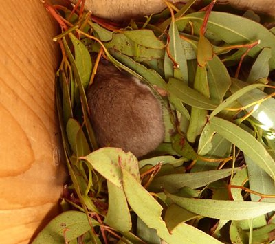 A Pygmy Possum in a nest of eucalyptus leaves in a nest box. Photo Angela Sanders.