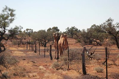 Keeping camels fenced out is an important part of Reserve Management. Photo Peter Taylor.