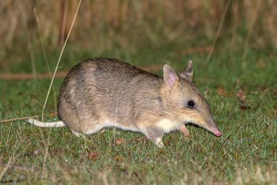 An Eastern-barred Bandicoot. Photo Bruce Thomson.