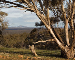 The protected woodlands of Nardoo Hills Reserves. Photo: Wayne Lawler/Ecopix.
