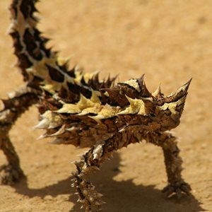 A Thorny Devil at Eurardy. Photo Leanne Hales.