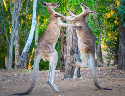Duelling kangaroos. Photo Steve Parish.