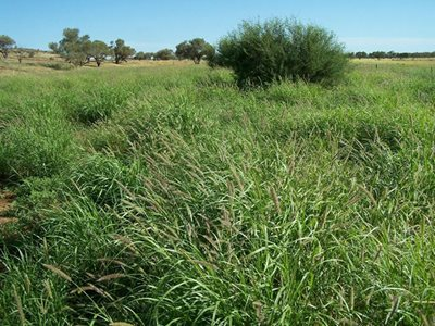 Buffel grass is a threat to Budgerigars. Photo Mark and Nella Lithgow.