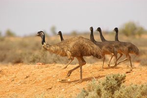 A father Emu leading his chicks along on Boolcoomatta Reserve in South Australia's arid rangelands. Photo Wayne Lawler / EcoPix.
