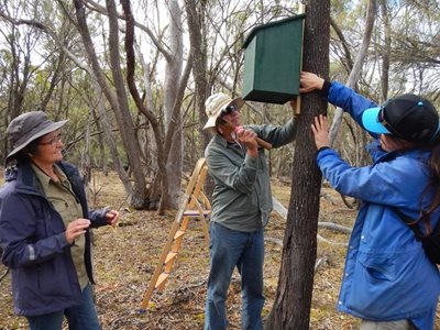 Ecologist Angela Sanders supervises volunteers setting up a nesting box for relocated Red-tailed Phascogales.
