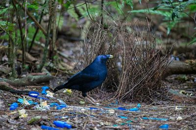 A Satin Bowerbird that has collected lots of blue litter for display. Photo Steve Parish.