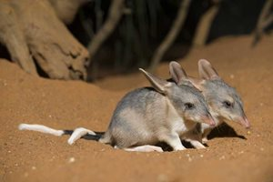 Bilby joeys. © Minden Pictures / AUSCAPE All rights reserved.