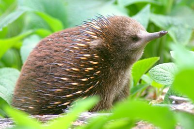 A Tasmanian echidna showing its fur coat, Liffey River Reserve. Photo Wayne Lawler / EcoPix.