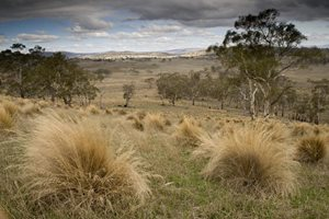 Native grasses in the Tasmanian Midlands. Photo Matthew Newton.