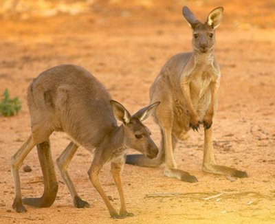 Western Grey Kangaroos at Oonartra Waterhole, Boolcoomatta, SA. Photo Wayne Lawler/EcoPix.