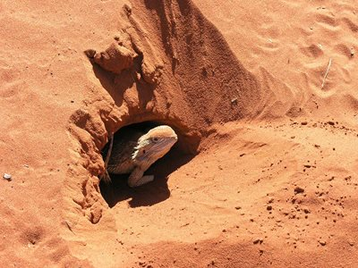A bearded dragon emerging from a hole at Ethabuka Reserve, Qld. Photo Glen Norris.