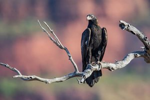 Wedge-tailed Eagles are big, strong birds, and can be slow to take flight from the ground. Photo Alec Brennan.