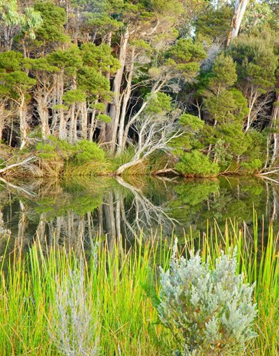 Undergrwoth is reflected in the river on South Esk Pine Reserve. Photo Wayne Lawler / EcoPix.