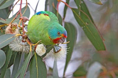 A Swift Parrot. Photo Chris Tzaros.