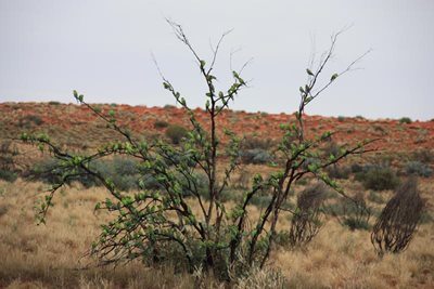 The 'foliage' on this tree is provided by budgies at our Ethabuka Reserve. Photo Stacey Irving.