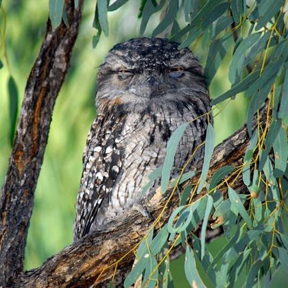 A Tawny Frogmouth. Photo Wayne Lawler.
