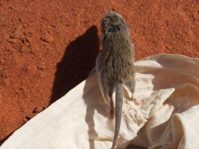 A mulgara is released after being caught in a pitfall trap on Ethabuka. Photo Kate Cranney.