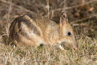 An Eastern Barred Bandicoot. Photo J J Harrison/Wikimedia Commons.