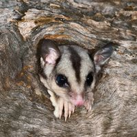 Sugar Glider. Photo Steve Parish.