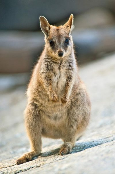Rock wallabies are the acrobats of the marsupial world. A Mareeba Rock Wallaby photographed by Steve Parish.