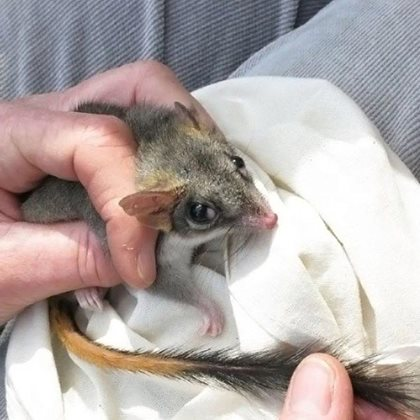 Red-Tailed Phascogale. Photo Annette Ruzicka.