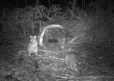 Two bettongs caught on a camera trap refusing to go into the proper trap! Photo by Kirstin Proft (a PhD candidate at UTAS, studying the genetics of Bettongs in the Midlands).