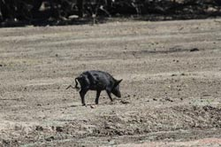 A feral pig at Naree Station, NSW