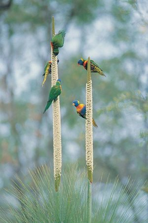 Lorikeets enjoying flower spikes at Carnarvon Reserve (Qld). Photo Wayne Lawler/EcoPix.