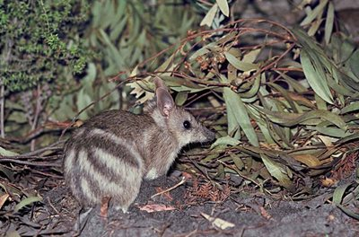 An Eastern Barred Bandicoot. Photo Hans and Annie Wapstra.
