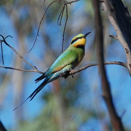 A Rainbow Bee-eater on Charles Darwin. Photo Dale Fuller.