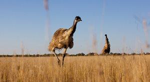 Emus amongst the grasslands at Naree Station in NSW. Photo Peter Morris.