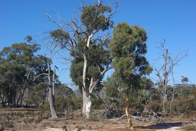 Three phases of Wandoo - growth, maturity and decline. Photo Angela Sanders.
