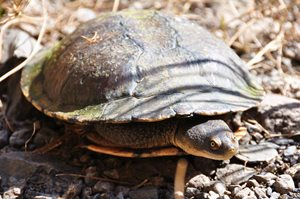 An Eastern Snake Necked Turtle. Photo Cathy Zwick.