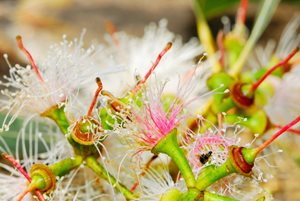 Freshly fallen red gum flowers at Yourka Reserve, Qld. Photo Wayne Lawler / EcoPix.