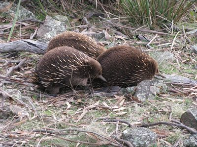 A group of echidna in the Tasmanian Midlands. Photo Matt Appleby.