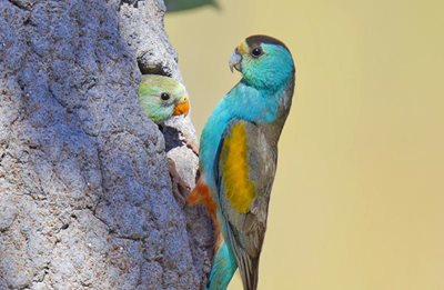 The Golden-shouldered Parrot is an important species for the Olkola people of Cape York. Photo Geoffrey Jones.