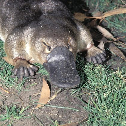 Platypus are among the animals at home at Nameless. Photo Dave Watts.