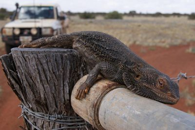 This bearded dragon is flat out at Bon Bon Station Reserve (SA). Photo Glen Norris.
