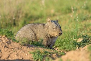 A Southern Hairy-nosed Wombat. Photo Bruce Thomson.