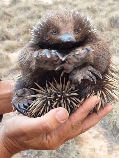 A baby echidna on our Scottsdale Reserve. Photo Kim Jarvis.