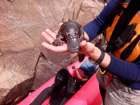 A baby Platypus rescued from a sinkhole by UMDR volunteers controlling willows. Photo Richard Swain.
