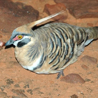 A Spinifex Pigeon from Cravens Peak. Photo Adam Kereszy.